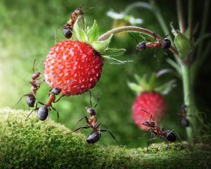 Scout ants carry fruit for Parshat Shlach