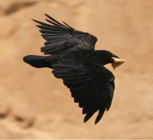 Fan-tailed raven carrying bread, to illustrate a post about ravens feeding the prophet Elijah