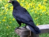 Crows Are Nesting in our Backyard