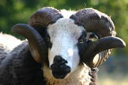 Our Ancestral Sheep