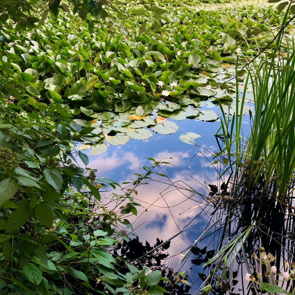 Placid pond, reflecting a blue sky with a few clouds, the reflection surrounded by an island of lily pads with white lotus flowers, illustrating a post about niggun, a mantra of calm.