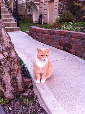 A yellow tabby cat sits on the sidewalk in front of his home.